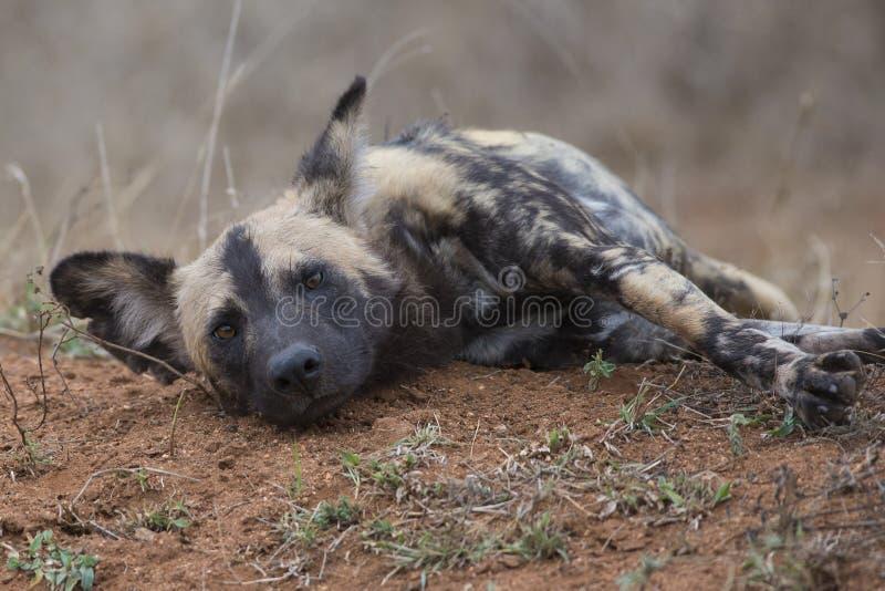 Cão selvagem que descansa após a caça imagens de stock royalty free