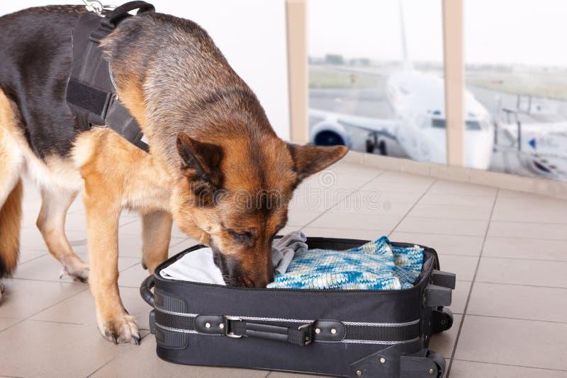 Cão Sniffing no aeroporto imagens de stock royalty free