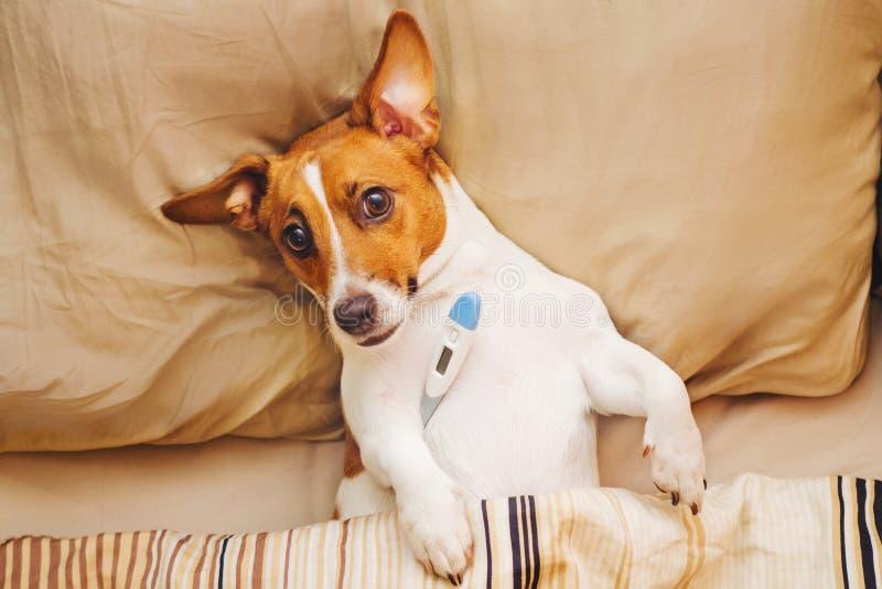 cão sob a edredão com febre e temperatura fotografia de stock royalty free