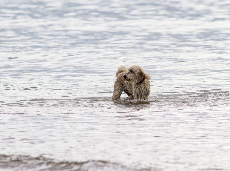 Cão sobre na ressaca que joga na água imagem de stock royalty free