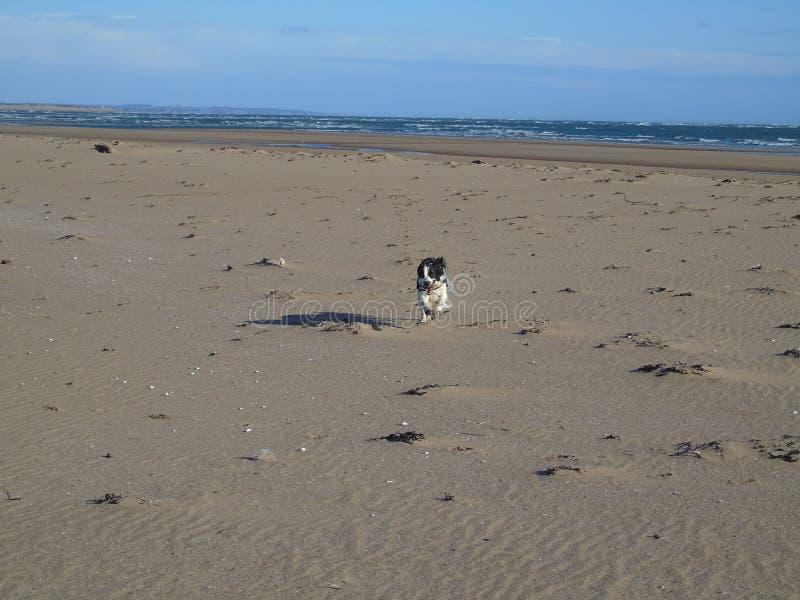 Cão solitário na praia vazia foto de stock