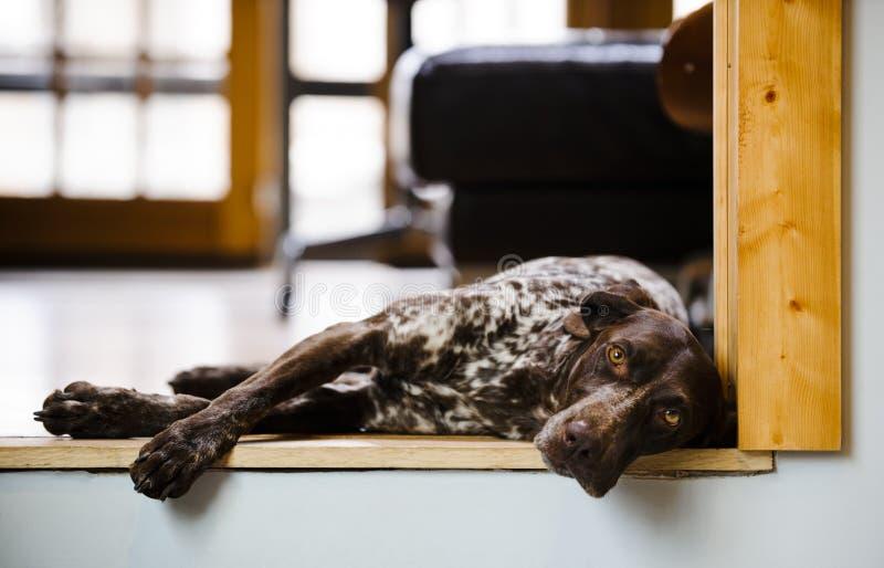 Cão sonolento fotos de stock