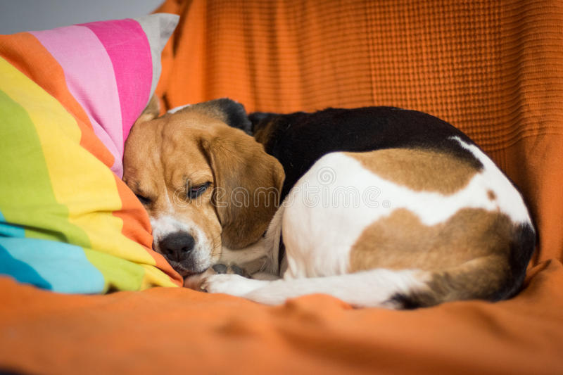 Cão sonolento foto de stock