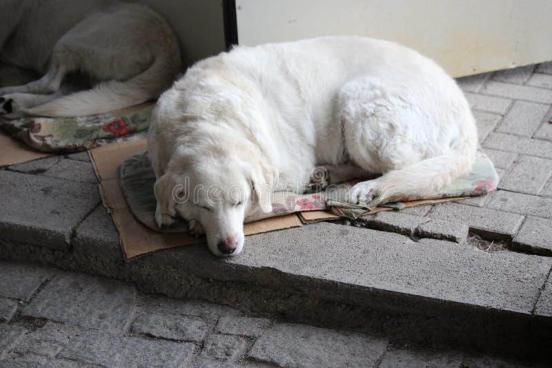 Cão sonolento da rua em ruas de Ohrid fotografia de stock royalty free