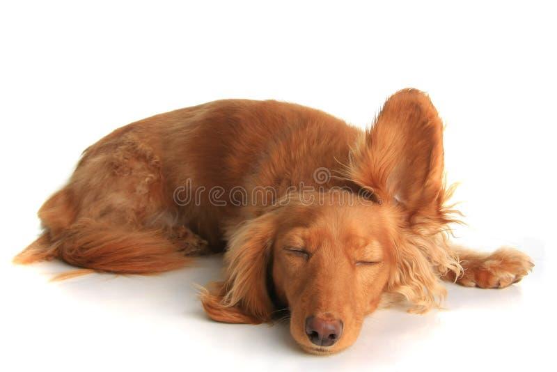 Cão sonolento que escuta fotografia de stock royalty free