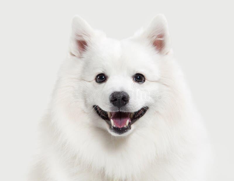 Cão Spitz branco japonês no fundo branco fotografia de stock royalty free