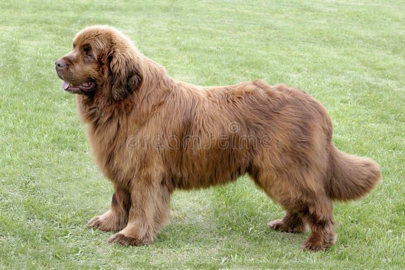Cão típico de Brown Terra Nova no parque foto de stock royalty free
