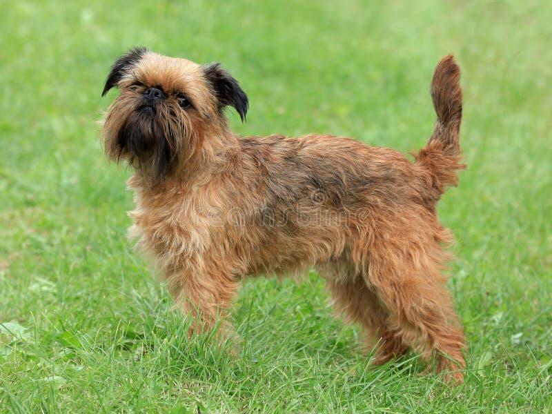Cão típico de Griffon Bruxellois fotografia de stock royalty free