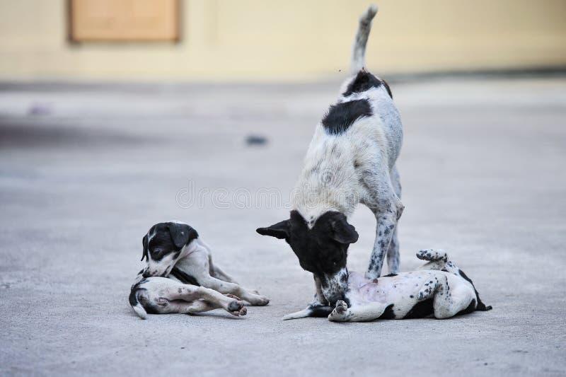 Cão tailandês da Misturado-raça com expressão de inquietação que olha e que toca em seu cachorrinho bonito na rua fotografia de stock