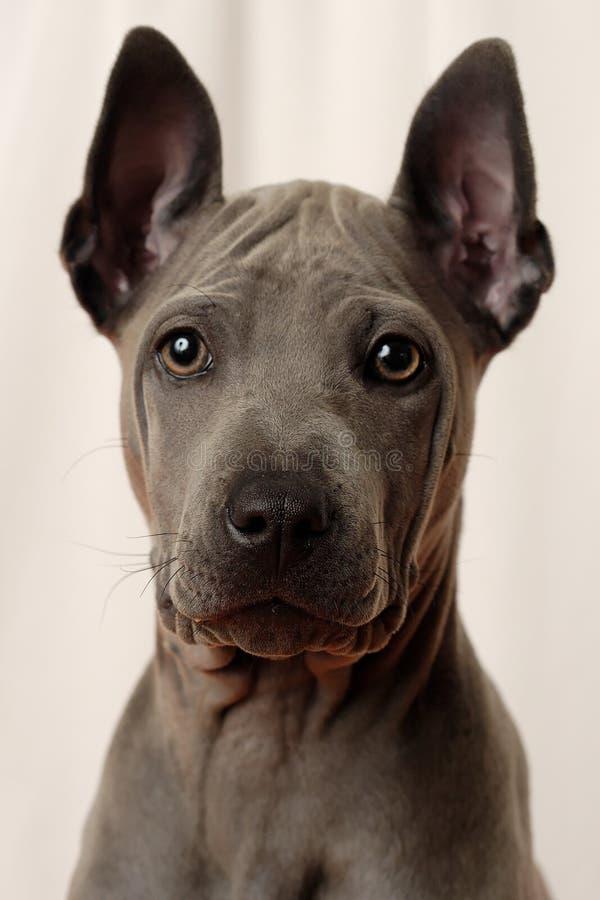 Cão tailandês de Ridgeback - Roxy fotografia de stock royalty free
