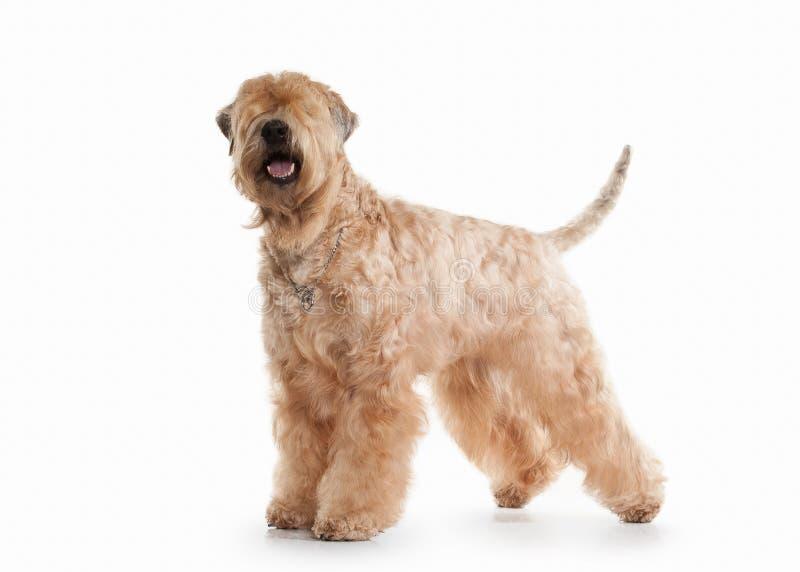 Cão Terrier wheaten revestido macio irlandês fotos de stock