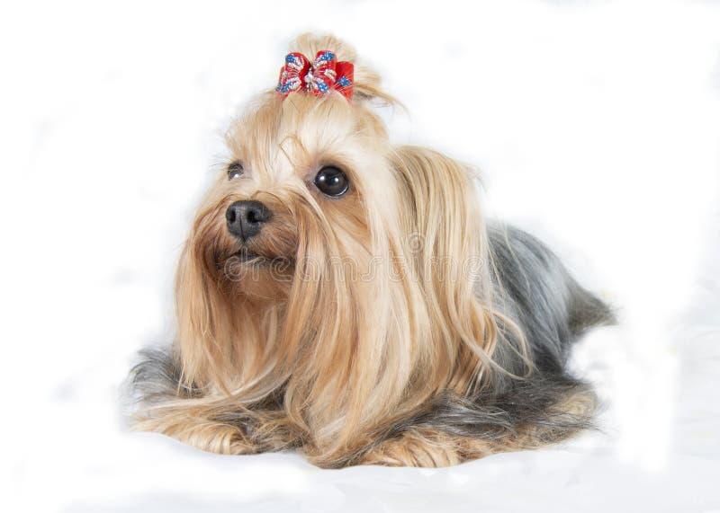 Cão Terrier yorkshirskiy imagem de stock