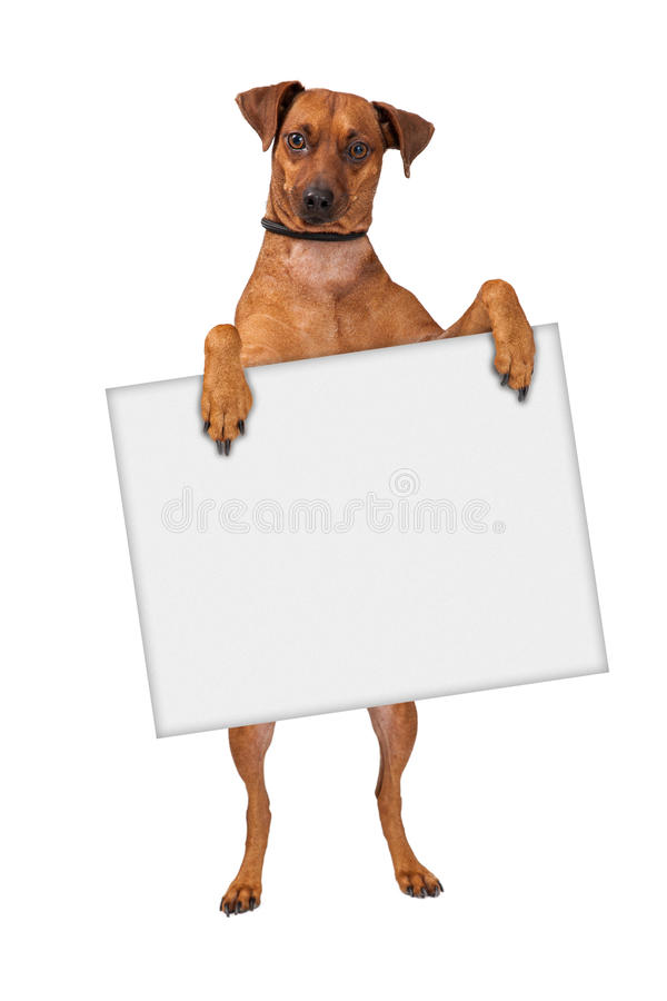 Cão transversal do Pinscher que guarda o sinal fotos de stock