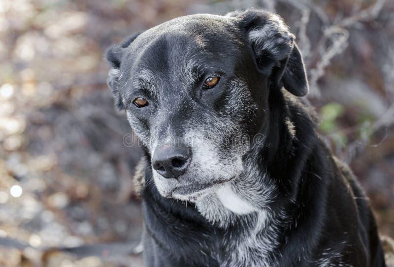 Cão traseiro velho de labrador retriever com focinho cinzento imagem de stock royalty free