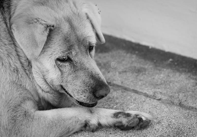 Cão triste do close up que encontra-se no assoalho concreto Cão gordo furado para o proprietário de espera Cara da expressão de a fotos de stock royalty free