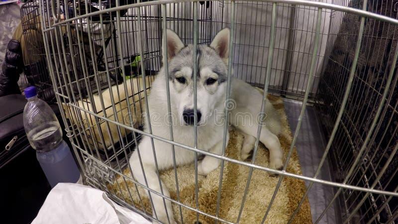 Cão triste do laika que encontra-se na gaiola no abrigo animal, animal de estimação futuro de espera da ajuda do proprietário foto de stock