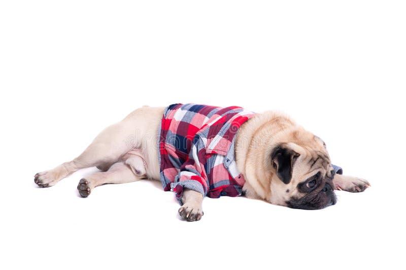Cão triste do pug foto de stock royalty free