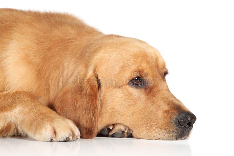 Cão triste do Retriever dourado que encontra-se no assoalho fotografia de stock