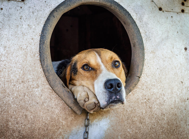 Cão triste em uma corrente no canil fotografia de stock royalty free