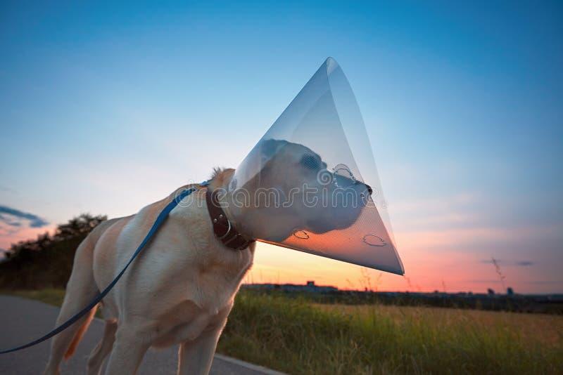 Cão velho após a cirurgia imagem de stock