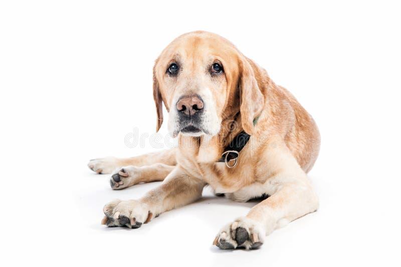 Cão velho do golden retriever no estúdio branco fotografia de stock royalty free