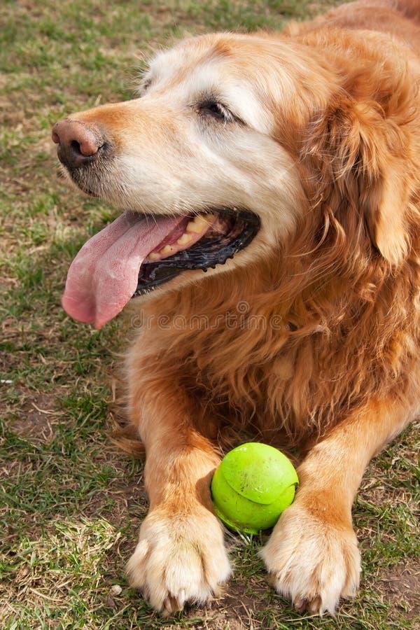 Cão velho e sua esfera fotografia de stock royalty free