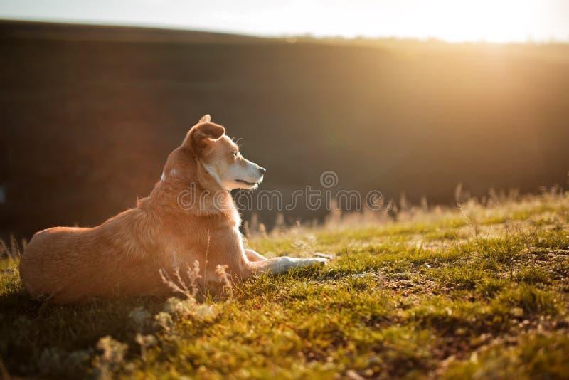 cão Vermelho-branco que coloca na grama no fundo com monte e céu imagem de stock royalty free