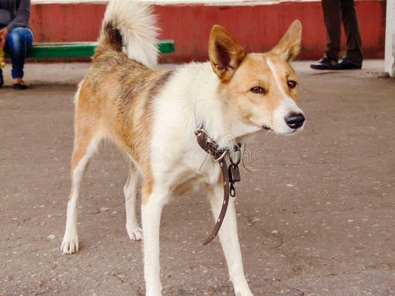 Cão vermelho curioso que olha a câmera fotografia de stock royalty free
