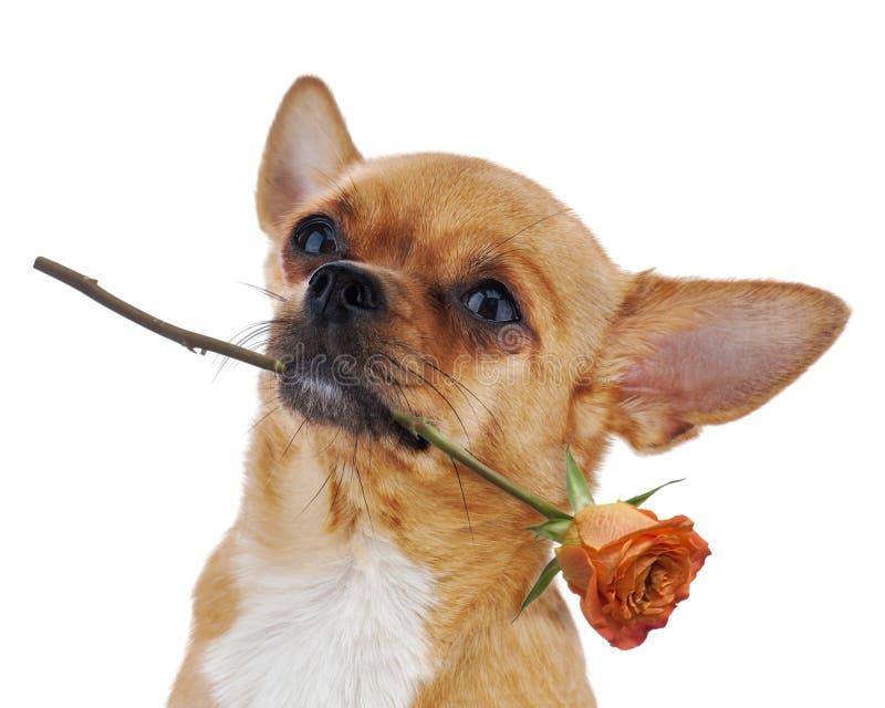 Cão vermelho da chihuahua com a rosa isolada no fundo branco. fotos de stock royalty free