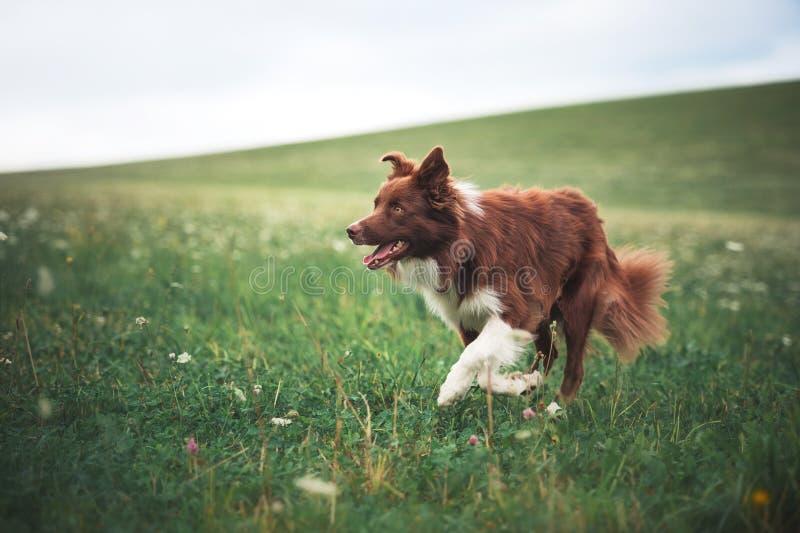 Cão vermelho de border collie que corre em um prado fotos de stock