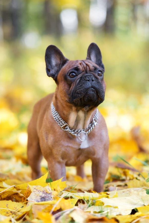 Cão vermelho do buldogue francês que levanta fora no outono imagem de stock royalty free