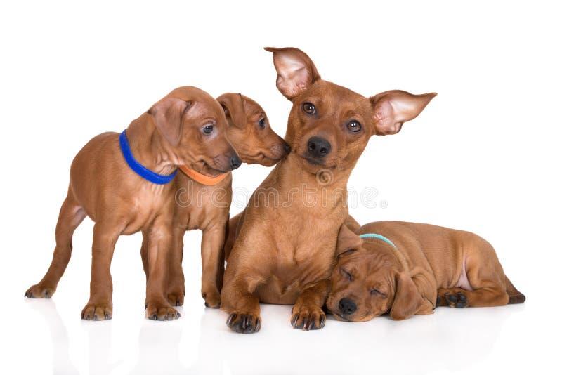 Cão vermelho do pinscher diminuto com cachorrinhos fotos de stock