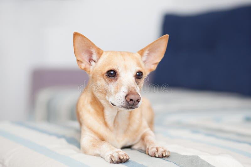Cão vermelho que encontra-se no sofá Restos do animal de estima??o Chihuahua Horizontal disparou dentro do interior claro com sof foto de stock royalty free
