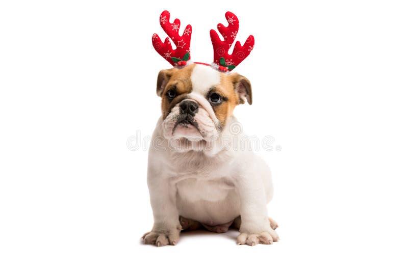 Cão vestido acima como de Rudolph foto de stock