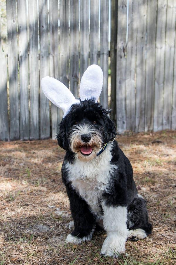 Cão vestido acima como do coelhinho da Páscoa imagens de stock