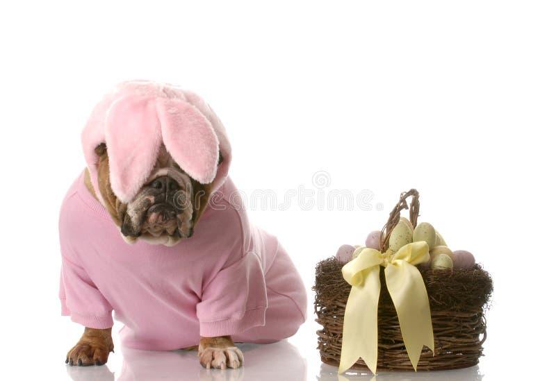 Cão vestido acima como do coelho de easter imagem de stock royalty free