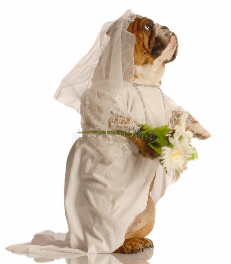 Cão vestido como a noiva imagens de stock