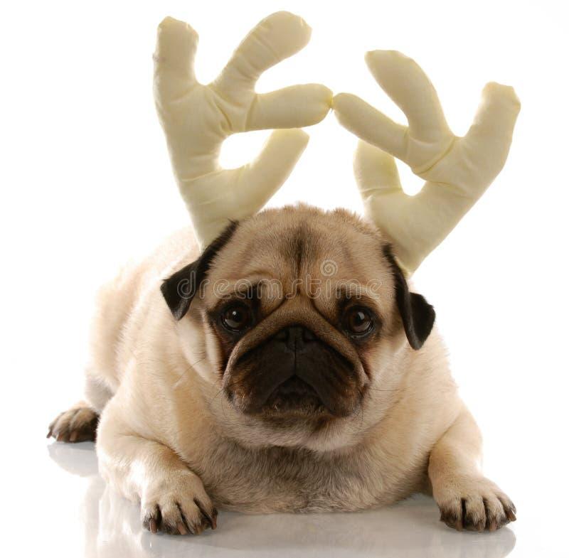 Cão vestido como Rudolph foto de stock