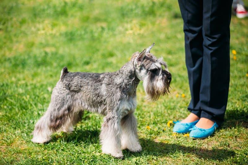 Cão Zwergschnauzer do Schnauzer diminuto na grama verde Bla adulto foto de stock