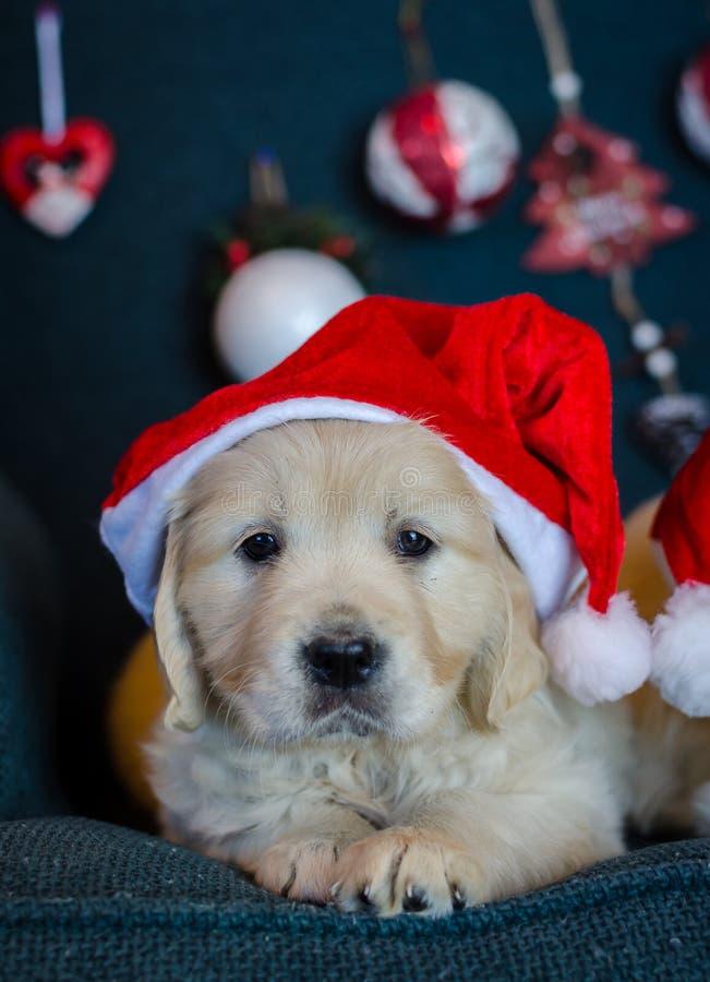 Cãozinho-de-ouro Santa Claus foto de stock royalty free