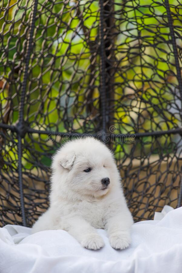 Cãozinho Samoyed bonito está em uma poltrona no quintal foto de stock royalty free