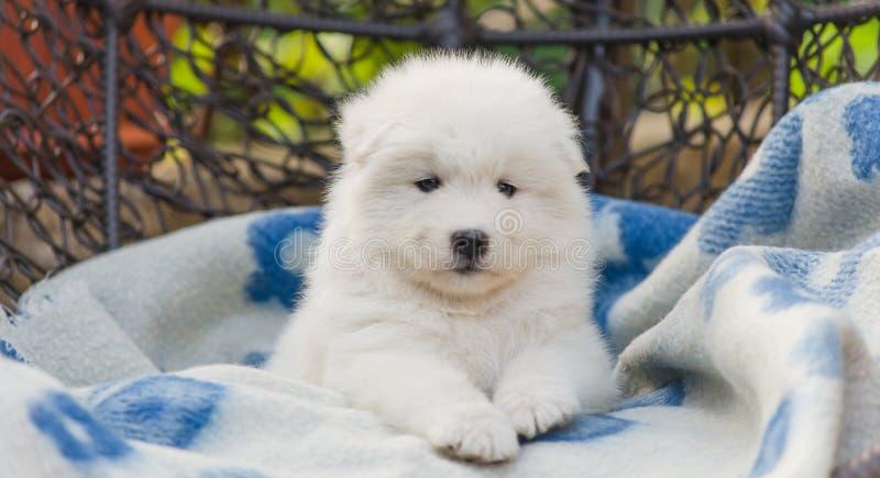 Cãozinho Samoyed bonito está em uma poltrona no quintal imagens de stock royalty free