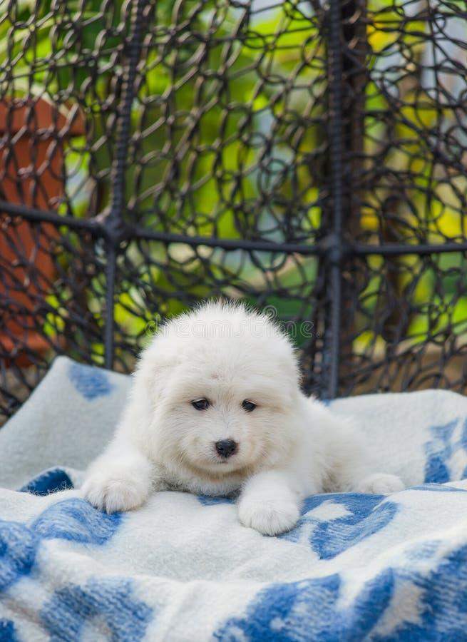 Cãozinho Samoyed bonito está em uma poltrona no quintal fotografia de stock royalty free