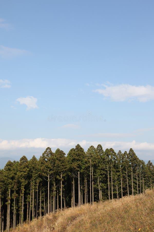 Cèdre japonais image libre de droits