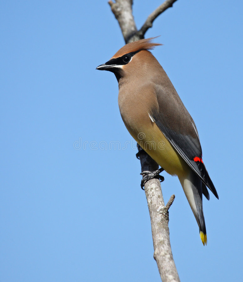 Cèdre Waxwing images stock