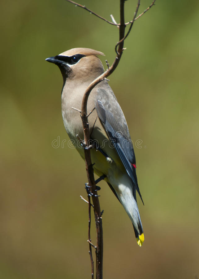 Cèdre Waxwing photo stock