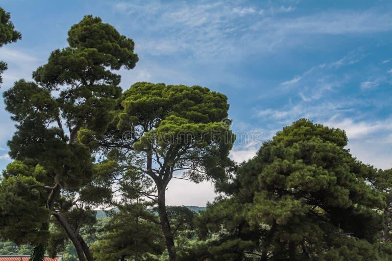 Cèdres libanais contre un ciel bleu avec les nuages blancs image stock