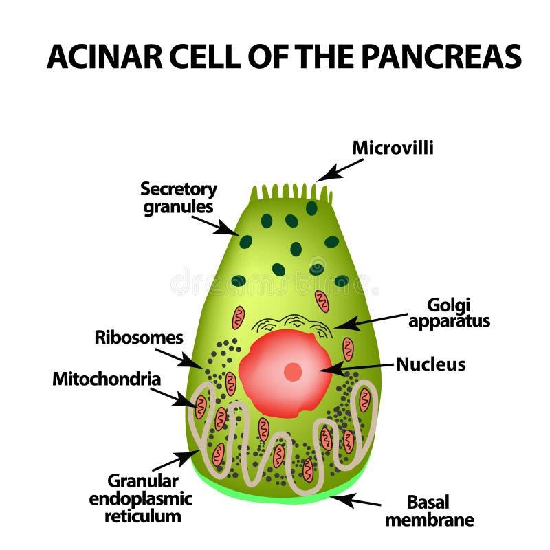 Célula Acinar del páncreas Acinus Infografía Ejemplo del vector en fondo aislado stock de ilustración