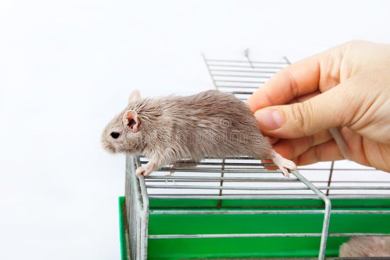 Raton de campo en casa excellent ratones de campo - Como alejar las ratas de la casa ...