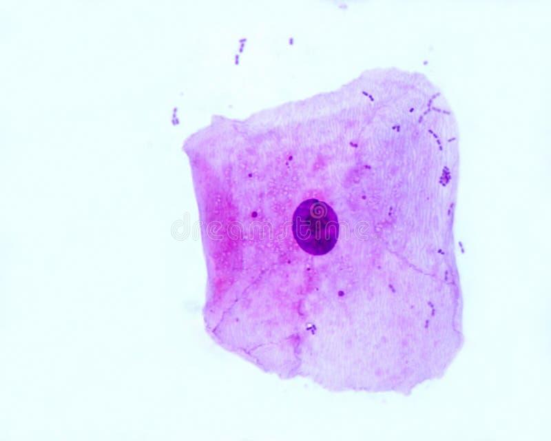 Célula epitelial Squamous imagen de archivo